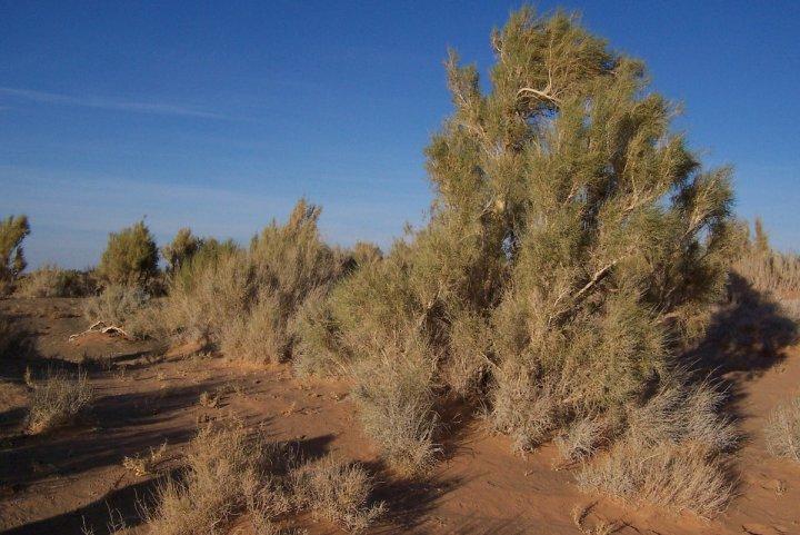 Pour exploiter l'uranium kazakh, Orano va raser une forêt protégée